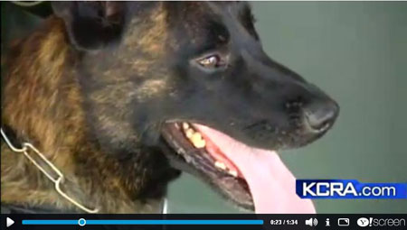 Click to play KCRA TV Ch3 News Clip K9 Armor for Stanislaus Sheriff K9 Sam